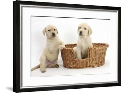Yellow Labrador Retriever Puppies, 7 Weeks, in a Wicker Dog Basket-Mark Taylor-Framed Photographic Print