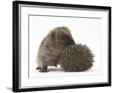 Two Young Hedgehogs (Erinaceus Europaeus) One Standing, One Rolled into a Ball-Mark Taylor-Framed Photographic Print
