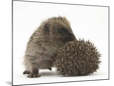 Two Young Hedgehogs (Erinaceus Europaeus) One Standing, One Rolled into a Ball-Mark Taylor-Mounted Photographic Print