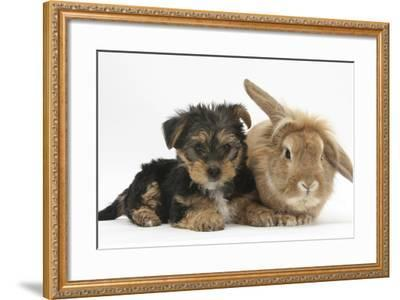 Yorkshire Terrier Puppy, 8 Weeks, with Sandy Lionhead-Cross Rabbit-Mark Taylor-Framed Photographic Print