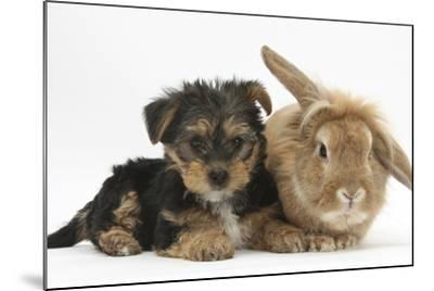 Yorkshire Terrier Puppy, 8 Weeks, with Sandy Lionhead-Cross Rabbit-Mark Taylor-Mounted Photographic Print
