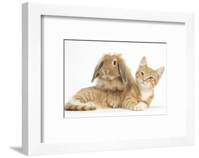 Ginger Kitten with Sandy Lionhead-Lop Rabbit-Mark Taylor-Framed Photographic Print