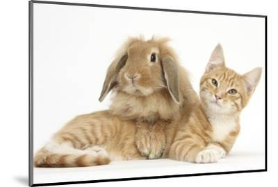 Ginger Kitten with Sandy Lionhead-Lop Rabbit-Mark Taylor-Mounted Photographic Print