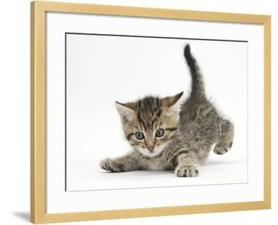 Cute Playful Tabby Kitten, Stanley, 6 Weeks Old-Mark Taylor-Framed Photographic Print