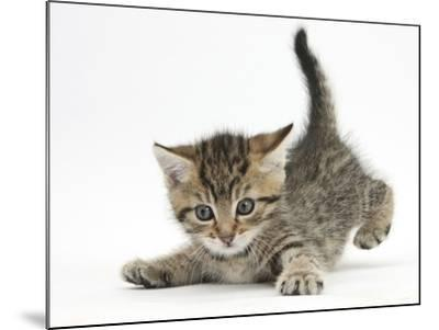 Cute Playful Tabby Kitten, Stanley, 6 Weeks Old-Mark Taylor-Mounted Photographic Print