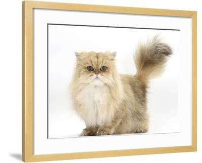 Golden Chinchilla Persian Female Cat, 6 Years-Mark Taylor-Framed Photographic Print