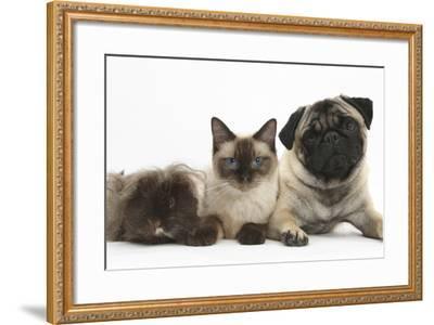 Fawn Pug, Burmese-Cross Cat and Shaggy Guinea Pig-Mark Taylor-Framed Photographic Print
