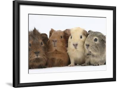 Four Baby Guinea Pigs, Each a Different Colour-Mark Taylor-Framed Photographic Print