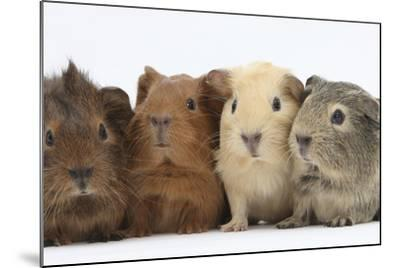 Four Baby Guinea Pigs, Each a Different Colour-Mark Taylor-Mounted Photographic Print