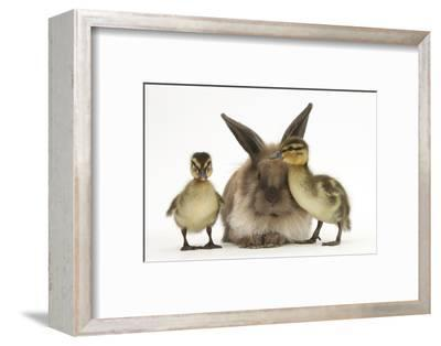 Young Lionhead-Lop Rabbit and Mallard Ducklings-Mark Taylor-Framed Photographic Print