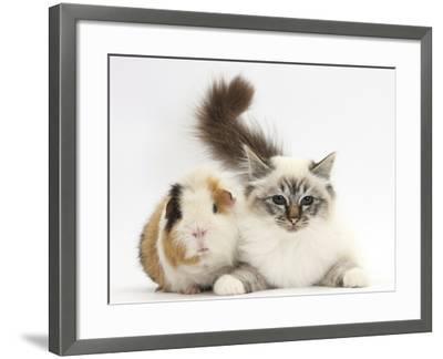 Tabby Point Birman Cat and Guinea Pig, Gyzmo-Mark Taylor-Framed Photographic Print