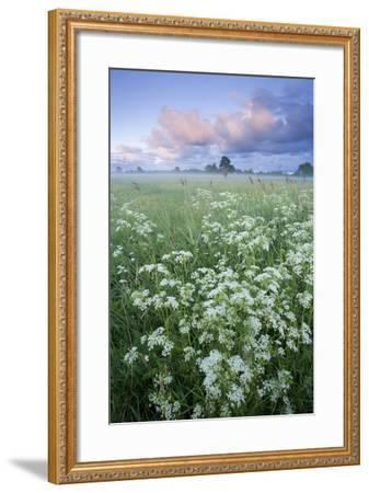 Cow Parsely (Anthriscus Sylvestris) in Meadow at Dawn, Nemunas Regional Reserve, Lithuania, June-Hamblin-Framed Photographic Print