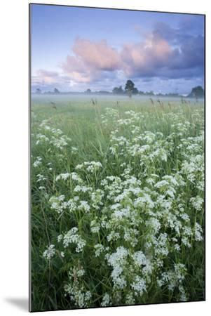 Cow Parsely (Anthriscus Sylvestris) in Meadow at Dawn, Nemunas Regional Reserve, Lithuania, June-Hamblin-Mounted Photographic Print