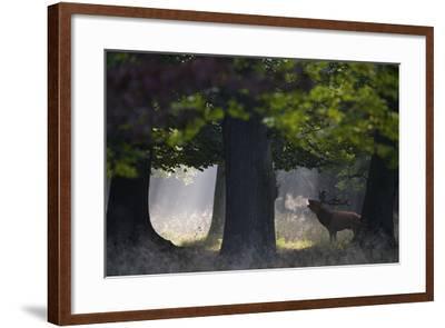Red Deer (Cervus Elaphus) Stag Calling During Rut, Klampenborg Dyrehaven, Denmark, September-M?llers-Framed Photographic Print