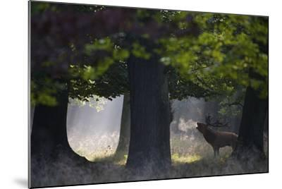 Red Deer (Cervus Elaphus) Stag Calling During Rut, Klampenborg Dyrehaven, Denmark, September-M?llers-Mounted Photographic Print