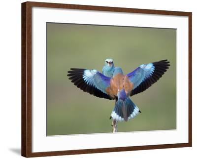 European Roller (Coracias Garrulus) Pair, Display, Pusztaszer, Hungary, May 2008-Varesvuo-Framed Photographic Print