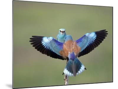 European Roller (Coracias Garrulus) Pair, Display, Pusztaszer, Hungary, May 2008-Varesvuo-Mounted Photographic Print