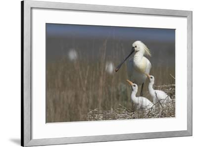 Spoonbill (Platalea Leucorodia) at Nest with Two Chicks, Texel, Netherlands, May 2009- Peltomäki-Framed Photographic Print