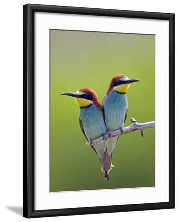 European Bee-Eater (Merops Apiaster) Pair Perched, Pusztaszer, Hungary, May 2008-Varesvuo-Framed Photographic Print