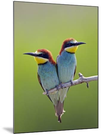 European Bee-Eater (Merops Apiaster) Pair Perched, Pusztaszer, Hungary, May 2008-Varesvuo-Mounted Photographic Print
