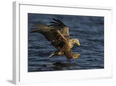 White Tailed Sea Eagle Hunting, North Atlantic, Flatanger, Nord-Tr?ndelag, Norway, August-Widstrand-Framed Photographic Print