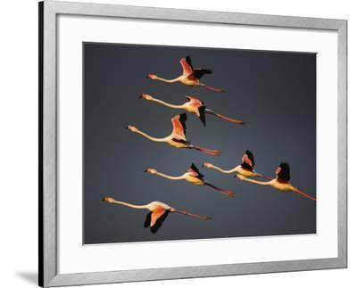 Greater Flamingos (Phoenicopterus Roseus) in Flight, Camargue, France, April 2009-Allofs-Framed Photographic Print