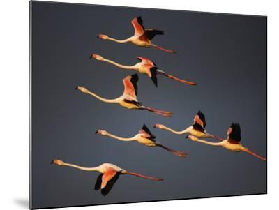 Greater Flamingos (Phoenicopterus Roseus) in Flight, Camargue, France, April 2009-Allofs-Mounted Photographic Print
