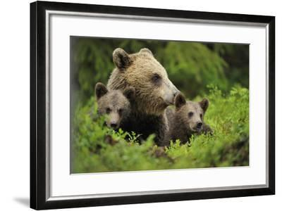 Eurasian Brown Bear (Ursus Arctos) with Two Cubs, Suomussalmi, Finland, July 2008-Widstrand-Framed Photographic Print