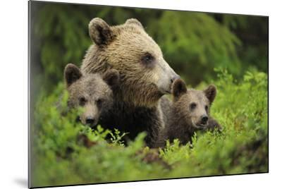 Eurasian Brown Bear (Ursus Arctos) with Two Cubs, Suomussalmi, Finland, July 2008-Widstrand-Mounted Photographic Print
