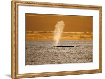Humpback Whale (Megaptera Novaeangliae) Blowing at Sunset, Disko Bay, Greenland, August 2009-Jensen-Framed Photographic Print