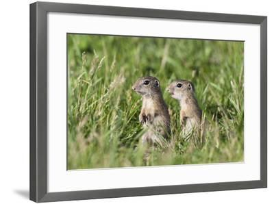 Two Young European Sousliks (Spermophilus Citellus) Alert, Eastern Slovakia, Europe, June 2009-Wothe-Framed Photographic Print