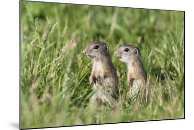 Two Young European Sousliks (Spermophilus Citellus) Alert, Eastern Slovakia, Europe, June 2009-Wothe-Mounted Photographic Print