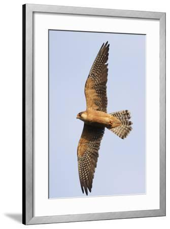 Red Footed Falcon (Falco Vespertinus) in Flight, Danube Delta, Romania, May 2009-Presti-Framed Photographic Print