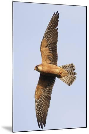 Red Footed Falcon (Falco Vespertinus) in Flight, Danube Delta, Romania, May 2009-Presti-Mounted Photographic Print