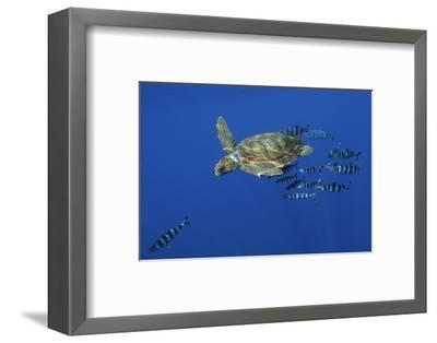Loggerhead Turtle (Caretta Caretta) with a Shoal of Pilot Fish, Pico, Azores, Portugal, June-Lundgren-Framed Photographic Print