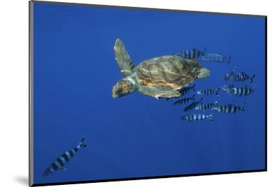 Loggerhead Turtle (Caretta Caretta) with a Shoal of Pilot Fish, Pico, Azores, Portugal, June-Lundgren-Mounted Photographic Print
