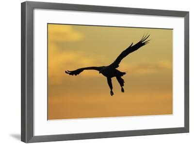 White Tailed Sea Eagle (Haliaeetus Albicilla) in Flight Silhouetted Against an Orange Sky, Norway-Widstrand-Framed Photographic Print