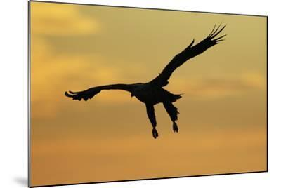 White Tailed Sea Eagle (Haliaeetus Albicilla) in Flight Silhouetted Against an Orange Sky, Norway-Widstrand-Mounted Photographic Print