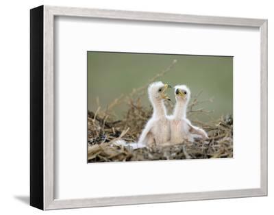 Steppe Eagle (Aquila Nipalensis) Chicks, Cherniye Zemli Nature Reserve, Kalmykia, Russia, May- Shpilenok-Framed Photographic Print