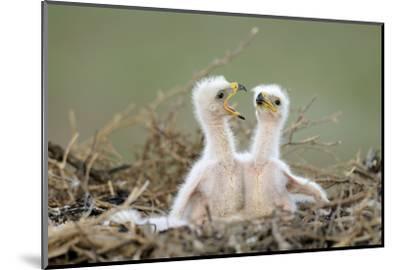Steppe Eagle (Aquila Nipalensis) Chicks, Cherniye Zemli Nature Reserve, Kalmykia, Russia, May- Shpilenok-Mounted Photographic Print