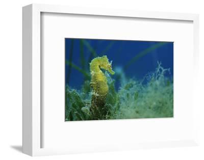 Short Snouted Seahorse (Hippocampus Hippocampus) Malta, Mediteranean, June 2009-Zankl-Framed Photographic Print