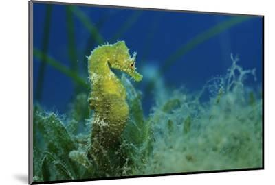 Short Snouted Seahorse (Hippocampus Hippocampus) Malta, Mediteranean, June 2009-Zankl-Mounted Photographic Print