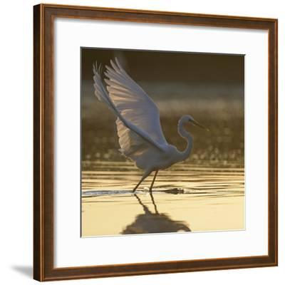 Great Egret (Ardea Alba) Landing on Water, Elbe Biosphere Reserve, Lower Saxony, Germany-Damschen-Framed Photographic Print