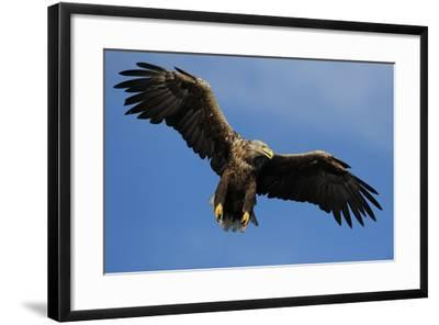 White Tailed Sea Eagle in Flight, North Atlantic, Flatanger, Nord-Trondelag, Norway, August-Widstrand-Framed Photographic Print