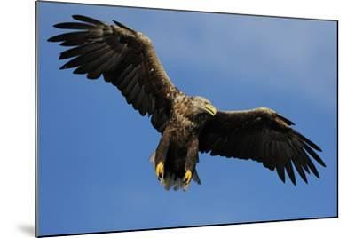 White Tailed Sea Eagle in Flight, North Atlantic, Flatanger, Nord-Trondelag, Norway, August-Widstrand-Mounted Photographic Print