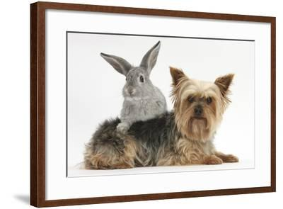 Yorkshire Terrier and Young Silver Rabbit-Mark Taylor-Framed Photographic Print