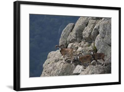 Mouflon (Ovis Musimon) Males on Rock Face, Parc Naturel Regional Du Haut-Languedoc, Caroux, France- Arndt-Framed Photographic Print