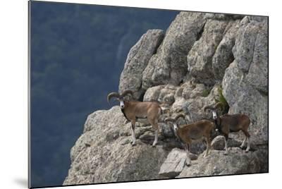 Mouflon (Ovis Musimon) Males on Rock Face, Parc Naturel Regional Du Haut-Languedoc, Caroux, France- Arndt-Mounted Photographic Print