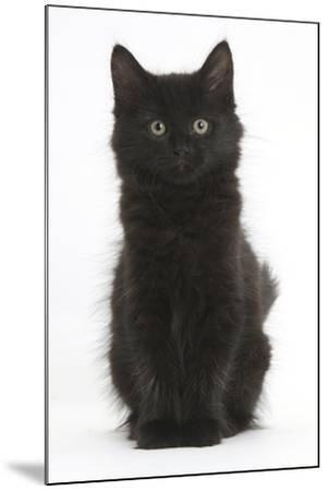 Fluffy Black Kitten, 9 Weeks Old, Sitting-Mark Taylor-Mounted Photographic Print