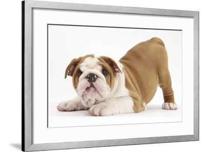 Playful Bulldog Puppy, 8 Weeks, in Play-Bow-Mark Taylor-Framed Photographic Print